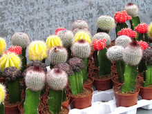 Small Pots Of Cactus With Its Red And Yellow Flowers