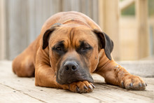 A Sleepy Dog Laying On A Deck