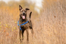 A Happy Shepherd Mix On An Aut...