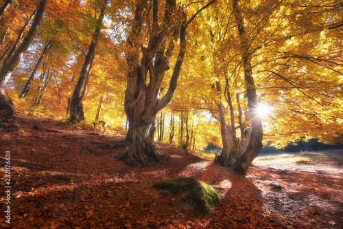 Fototapety, obrazy: Sun rays through autumn trees. Natural autumn landscape in the forest. Autumn forest and sun as a background. Nature at the autumn time