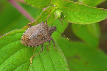 Worldwide Pest Brown Marmorate...