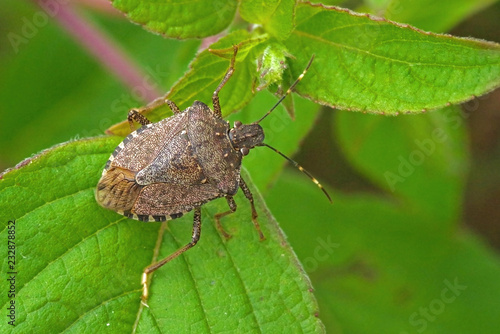 Fotografija Worldwide pest brown marmorated stink bug Halyomorpha halys (adult)