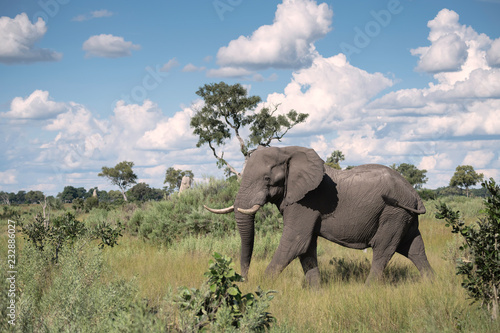 Photo  Large bull elephant walking through the Okavango Delta grassland in Botswana