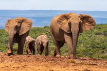 Elephant In The Addo Elephant ...