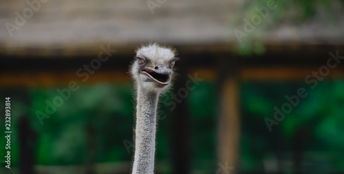 Wall Murals Ostrich Smiling ostrich on African farm