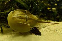 Atlantic Horseshoe Crab, American Horseshoe Crab (Limulus Polyphemus).