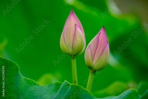 Foto op Canvas Lotusbloem The lush lotus leaves and the blooming lotus in the summer ponds