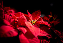 Close Up Of Common Poinsettia,...