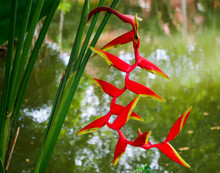 Heliconia Rostrata – Hanging...