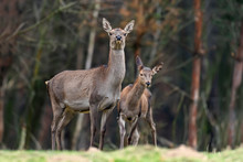 Female Roe Deer Standing In A ...
