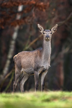 Female Roe Deer Standing In A Forest