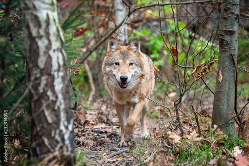 Spoed Fotobehang Wolf Wolf in autumn forest