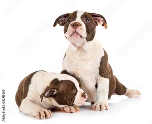 Obraz puppies american bully - fototapety do salonu