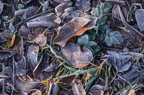 Fallen brown leaves lie on the grass covered with frost after the first frost Wallpaper Mural