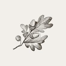 Engraving Oak Acorn Isolated O...