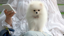 Adorable White Pomeranian Puppy. Portrait Of White Pomeranian Spitz Looking At Camera While Sitting Of Womans Knees. Take Care Of Your Pets.