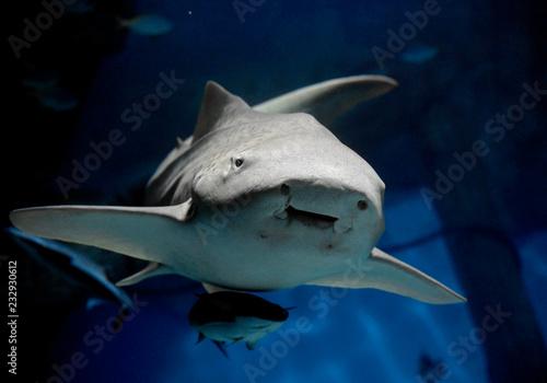 Zebra shark or Leopard shark (Stegostoma fasciatum) close-up with suckerfish (Remora remora) under sea water