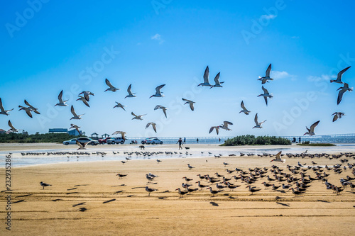 Foto op Plexiglas Texas A flock of Black Skimmers flying around in South Padre Island, Texas