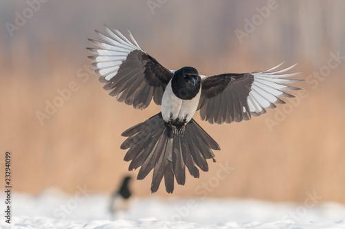Fotografie, Obraz Birds - Common magpie (Pica pica)