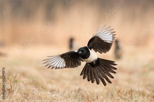 Obraz na plátně Birds - Common magpie (Pica pica)