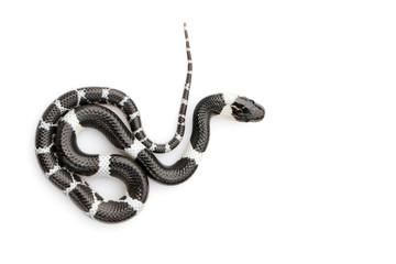 Wizerunek mały wąż na białym tle (Lycodon laoensis), gad ,. Zwierząt