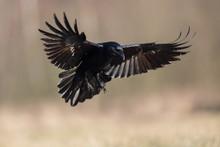 Birds - Flying Black Common Ra...
