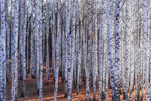 Birch Grove - beautiful natural background, winter, autumn