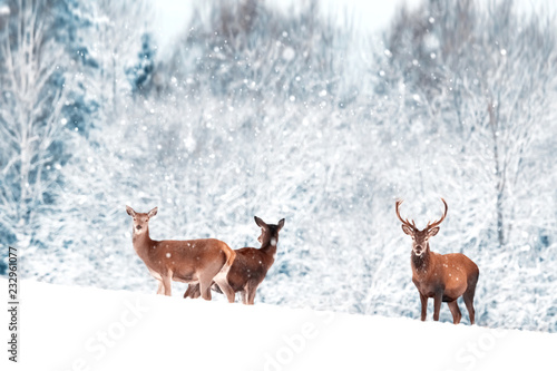 A group of beautiful male and female deer in the snowy white forest. Noble deer (Cervus elaphus).  Artistic Christmas winter image. Winter wonderland.