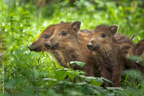 The wild boar (Sus scrofa), also known as the wild swine Fototapeta