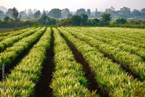 Fotografie, Obraz  ginger crop