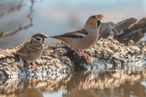 Fotomural Hawfinch (Coccothraustes coccothraustes) sits on a mossy branch of a tree
