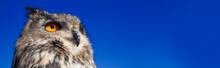 European Eagle Owl Panoramic W...
