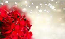 Scarlet Poinsettia Flowers Or ...