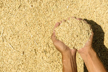 Brown Rice On Farmer Hands