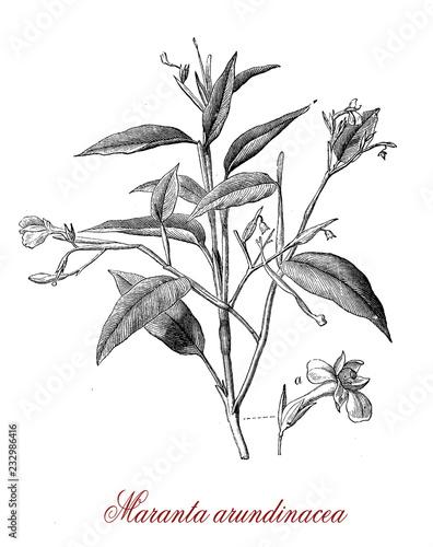 Vintage botanical engraving of Maranta arundinacea or arrowroot,edible and ornam Wallpaper Mural