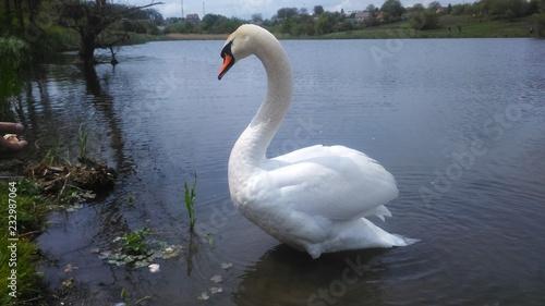Keuken foto achterwand Zwaan swan on lake