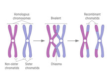 Duplicated Homologous Chromosomes Pair And Crossing-over