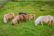 Shetland Pony At Scotland, Shetland Islands