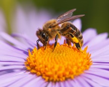 Bee Or Honeybee Sitting On Flower