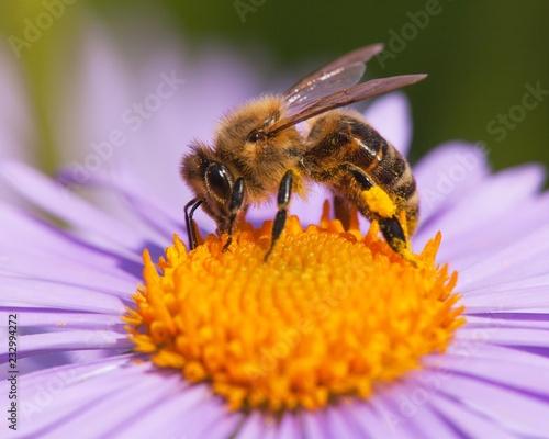 Plakat pszczoła lub pszczoła miodna siedzi na kwiat