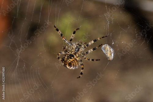 spider on a web Wallpaper Mural