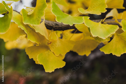 Branch of relic ginkgo tree with yellow leaves Canvas Print