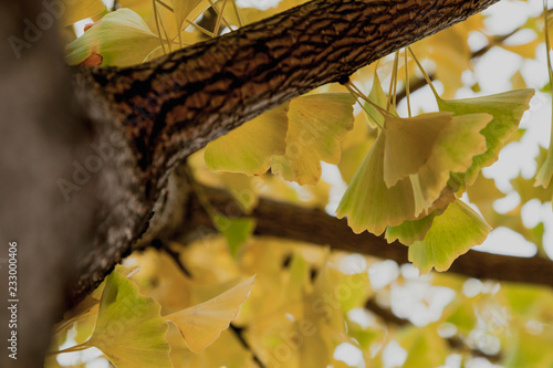 Photo Branch of relic ginkgo tree with yellow leaves