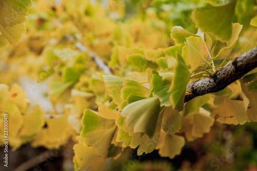 Branch of relic ginkgo tree with yellow leaves Wallpaper Mural