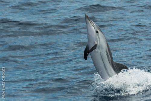 Dauphin bleu et blanc saute hors de l'eau
