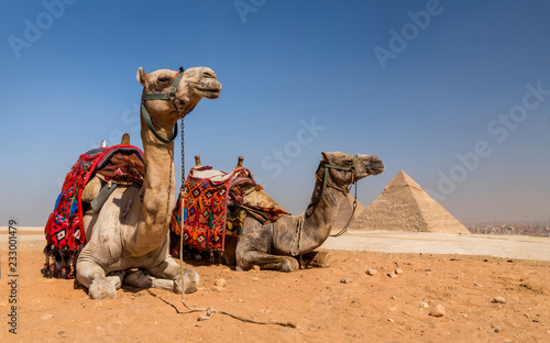Fotobehang Kameel Camels with the Pyramids of Gizeh, Egypt