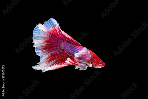 The moving moment beautiful of red siamese betta fish or half moon