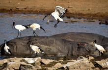 Ibis - African Sacred Ibis Flying
