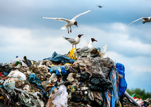 Gulls On Garbage Dumps