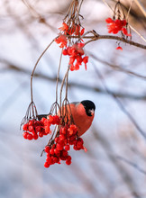 Red Bullfinch On The Twig